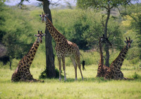 Giraffes in Colour