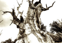 Wizened Tree Trunk