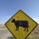 Burning Man 2011 Cow Crossing