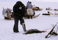 ARCTIC SEAL PHOTO