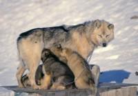 ARCTIC SLED DOG BABIES